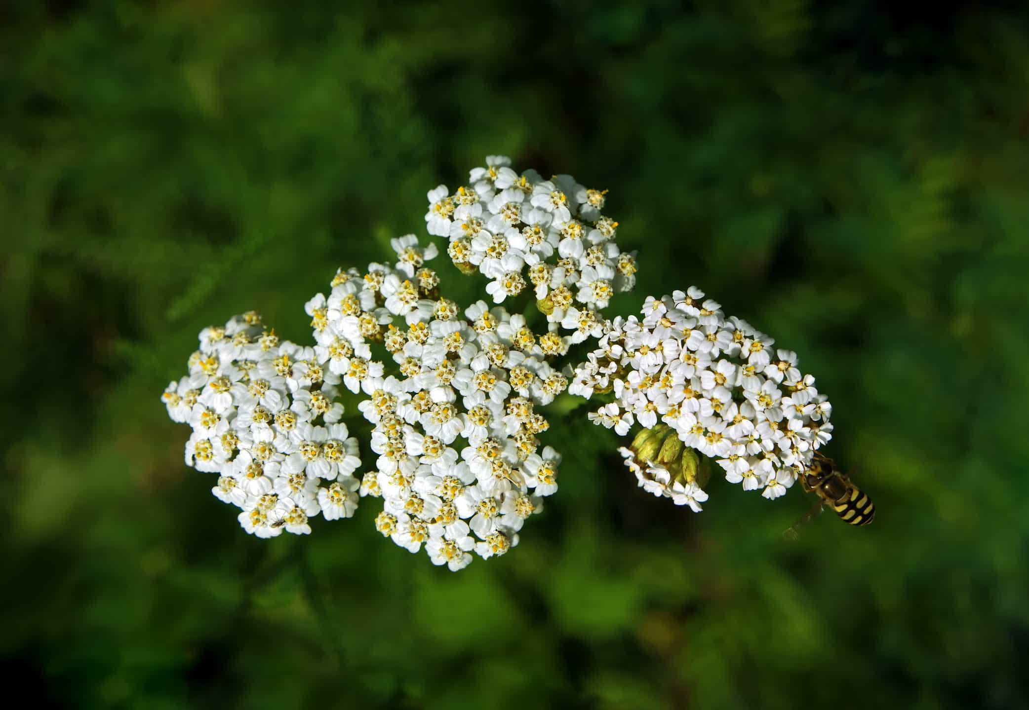 Blütenpollen-3