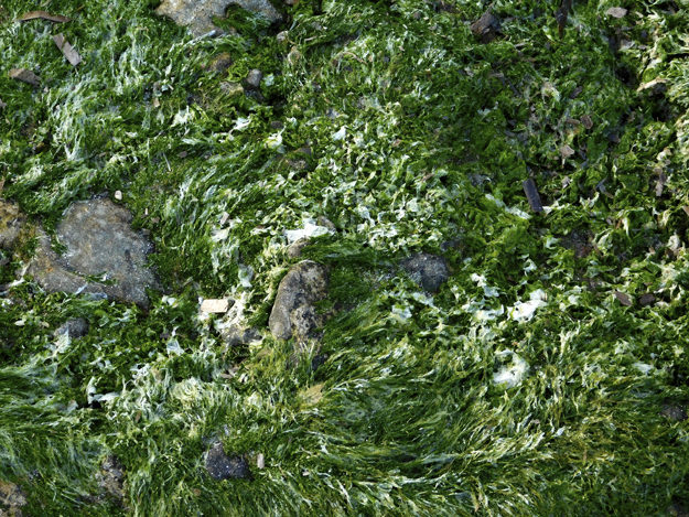 algae at sea